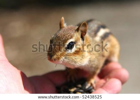 Chipmunk Feeding In Hand - stock photo