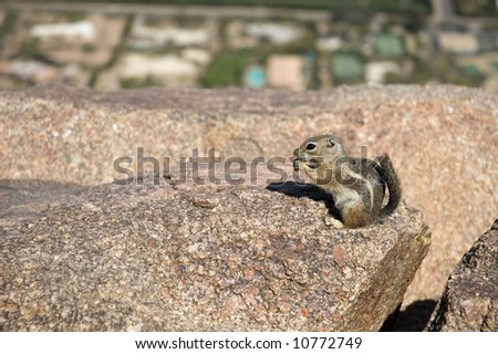 Chipmunk Feeds on Rocky Ledge of Camelback Mountain with City of Phoenix OOF in Background