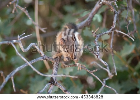 Chipmunk in a tree at Zion National park - stock photo