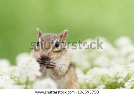 Chipmunk in alyssum flower garden.