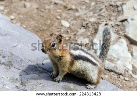 Chipmunk in Banff National Park - stock photo