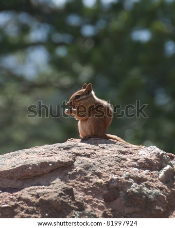 Chipmunk in Nature Sitting on a Rock