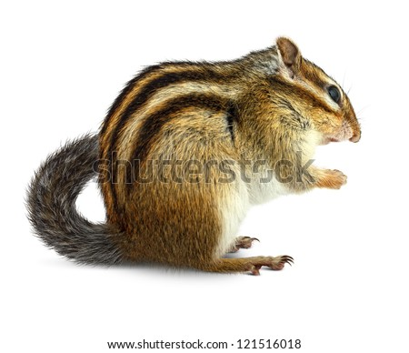 Chipmunk isolated on white background - stock photo