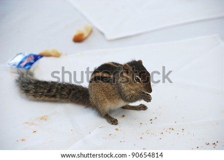 Chipmunk on the dining table