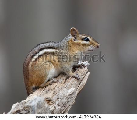 Chipmunk Portrait on Grey Background - stock photo