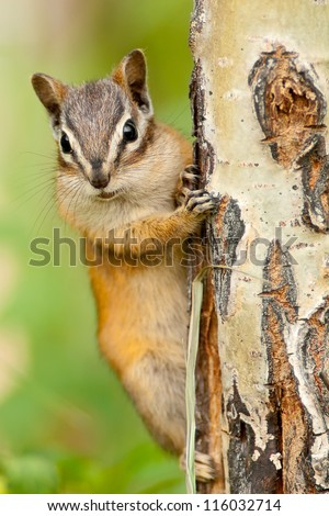 Chipmunk squirrel clinging to a tree. Canada, North America - stock photo