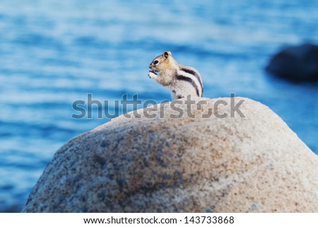 Chipmunk squirrel eating a peanut - stock photo