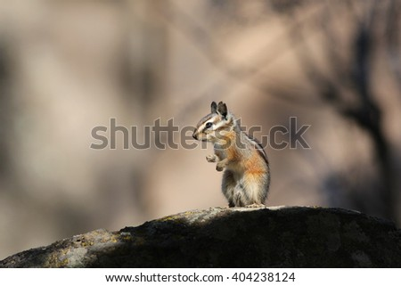 Chipmunk standing on a rock - stock photo