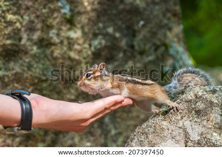 Chipmunk stands forepaws leaning on hand with seeds and hind legs on a stone - stock photo