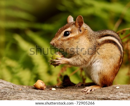 chipmunk with an acorn snack