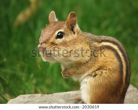 chipmunk with full cheeks contemplating - stock photo