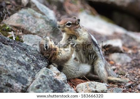 Chipmunks fighting in Jasper National Park - Alberta - stock photo