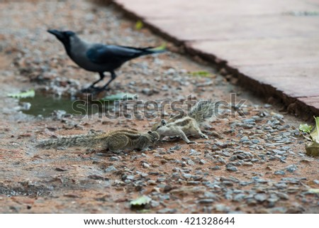 Chipmunks kiss while the crow walks behind - stock photo
