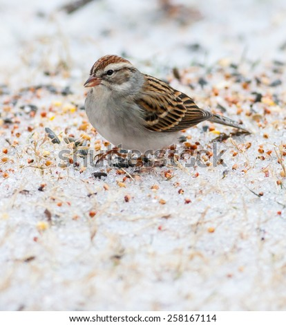 Chipping Sparrow (Spizella passerina) - stock photo