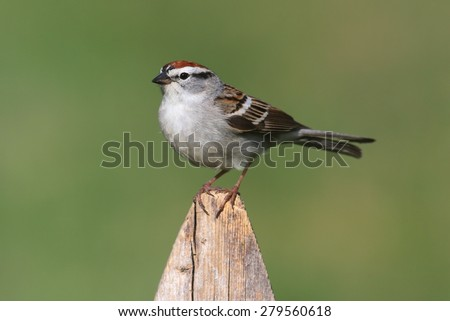 Chipping Sparrow (Spizella passerina) on a branch with a green background - stock photo