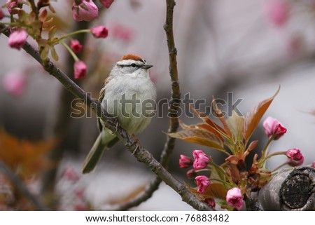 Chipping Sparrow (Spizella passerina passerina), Eastern subspecies, spring migrant in breeding plumage sitting in cherry tree (Prunus sargentii) - stock photo