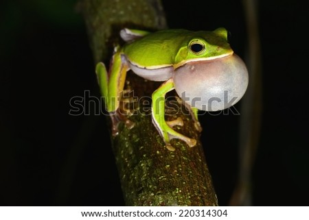 Chirping tree frogs are courting in the forest,Taiwan