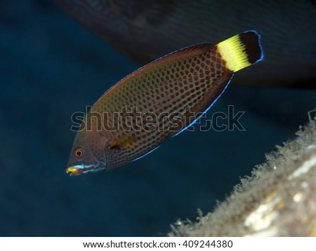 Chiseltooth wrasse in Bali sea, Indonesia - stock photo