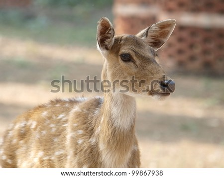 Chital, Axis axis - stock photo