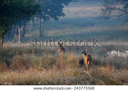Chital Deer Family at Dawn in Kanha National Park India - stock photo