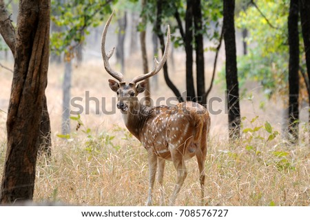Chital or cheetal deer (Axis axis), also known as spotted deer or axis deer in the  National Park in India.