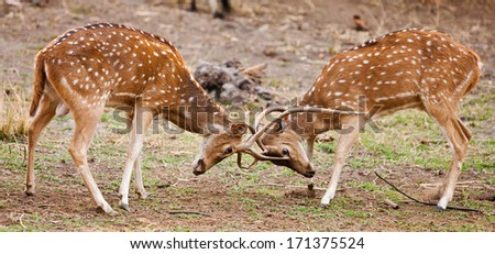 Chital or cheetal deers (Axis axis), also known as spotted deer or axis deer in the Bandhavgarh National Park in India. Bandhavgarh is located in Madhya Pradesh. - stock photo