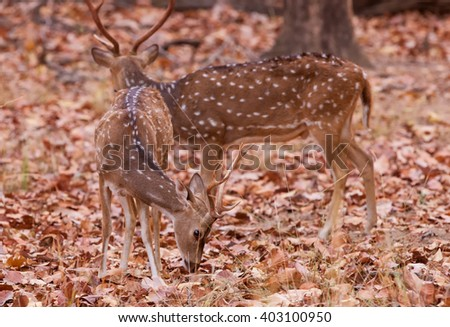 Chital or cheetal deers (Axis axis), also known as spotted deers or axis deers in the Bandhavgarh National Park in India. Bandhavgarh is located in Madhya Pradesh. - stock photo