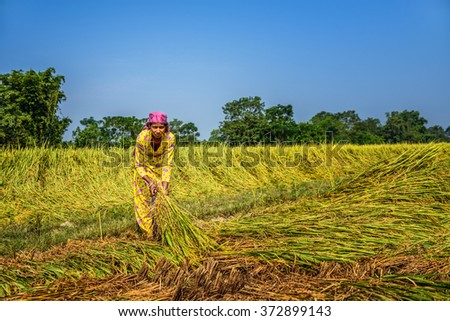 CHITWAN, NEPAL - OCTOBER 24, 2015 : Nepalese woman working in a rice field. In Nepal, the economy is dominated by agriculture.