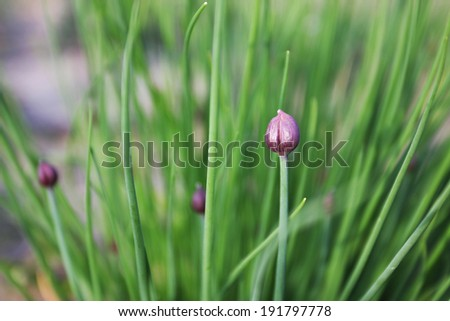 chive - stock photo