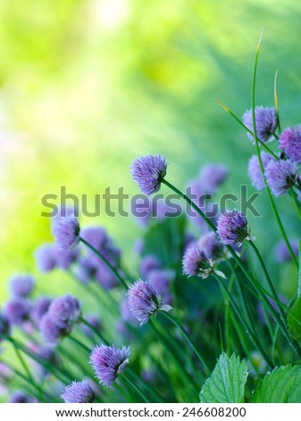 Chive herb flowers on beautiful blur  background. Blooming onion in the vegetable garden. - stock photo