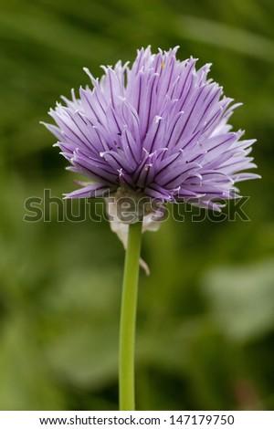 Chives - Allium schoenoprasum - stock photo
