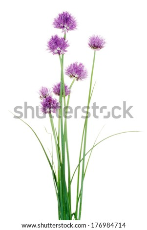 Chives decorative flowers close up - stock photo