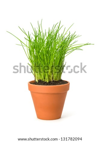 Chives in a clay pot - stock photo