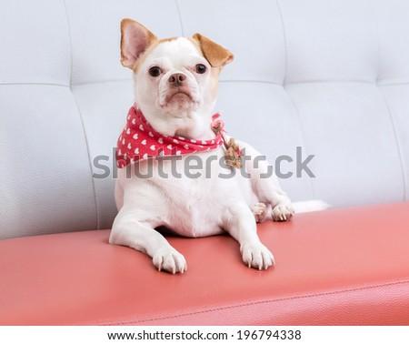 Chiwawa puppy - stock photo