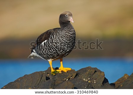 Chloephaga hybrida), Kelp goose, is a member of the duck, goose. It can be found in the Southern part of South America; in Patagonia, Tierra del Fuego, and the Falkland Islands. - stock photo