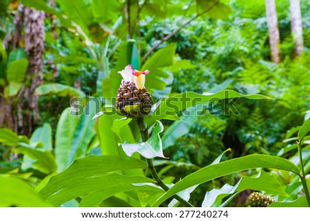 Chocolate ball ginger plant blooming in Hawaii - stock photo