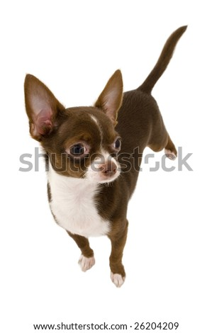chocolate brown chihuahua dog isolated on white background