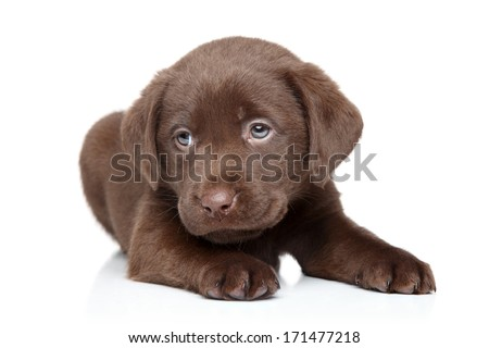 Chocolate Brown Labrador puppy portrait on white background - stock photo