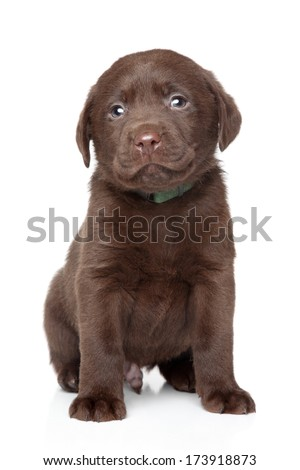 Chocolate Brown Labrador puppy portrait on white background