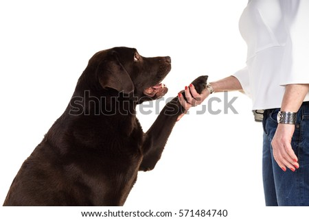 Chocolate brown male senior labrador isolated in white background, giving boss paw