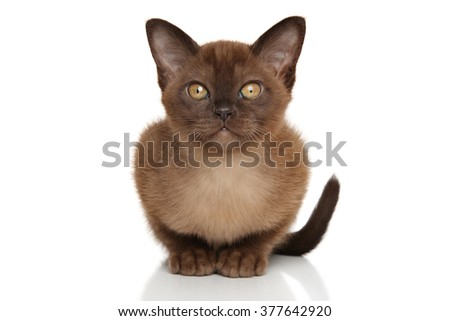 Chocolate Burmese kitten on white background