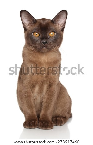 Chocolate Burmese kitten sits in front of white background - stock photo