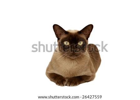 Chocolate Burmese looking at camera - stock photo