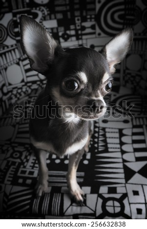 chocolate chihuahua portrait - stock photo