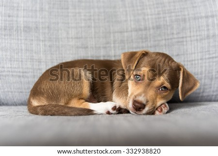 Chocolate Colored Terrier Mix Puppy Falling Asleep on Gray Sofa - stock photo