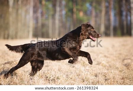 chocolate flat coated retriever dog running outdoors - stock photo