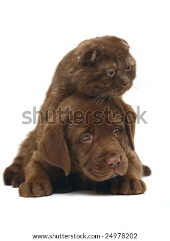 Chocolate kitten and puppy on a white background. A cat and a dog together.