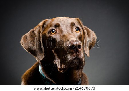 Chocolate lab - stock photo