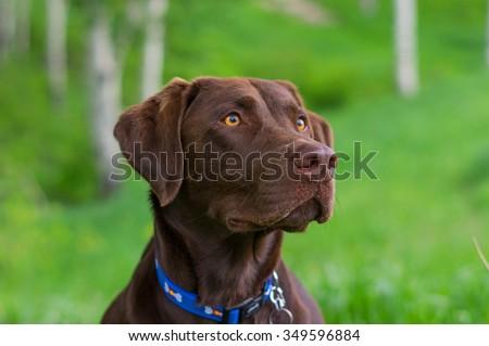 Chocolate lab head shot on green grass background. - stock photo
