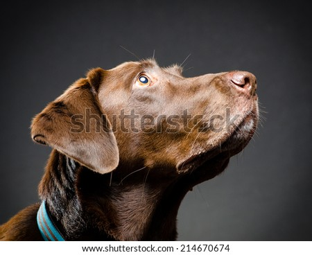 Chocolate lab profile - stock photo